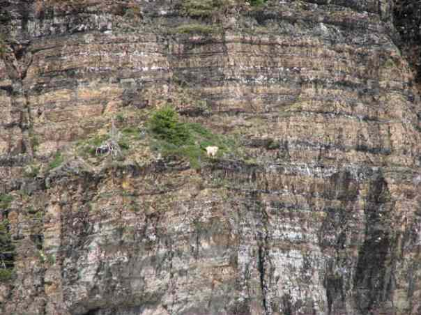 goat8