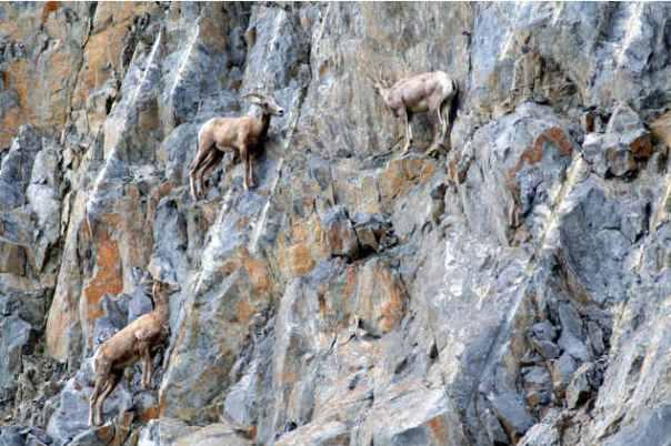 goats12